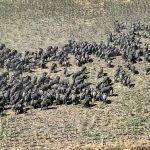 Herd of elephants moving across Borno